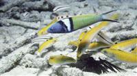 その魚は、かくして「性転換」する--メスがオスに変わるメカニズムが解明される