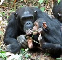 チンパンジーの子もおやつ 人類の進化研究に期待