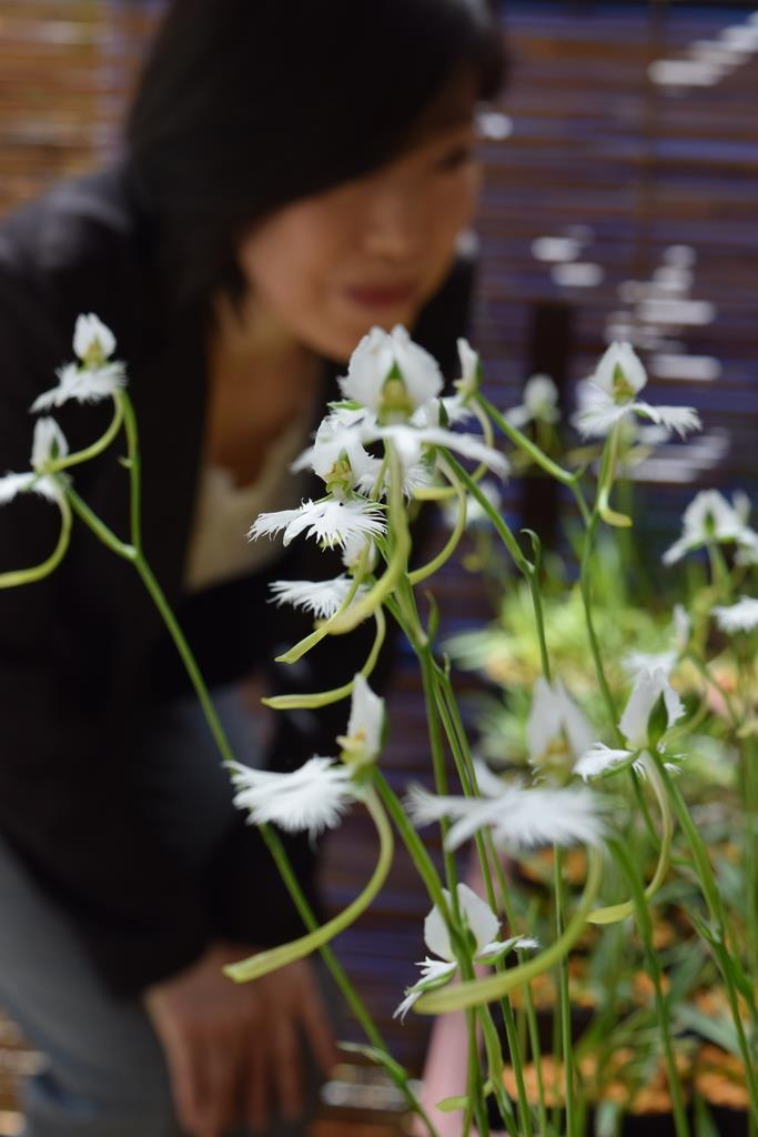純白の花を咲かせるサギソウ=大阪市中央区