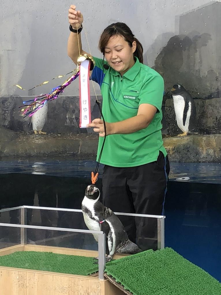 オウサマペンギンの愛称が書かれたくす玉を割ったフンボルトペンギン=15日、仙台市宮城野区の仙台うみの杜水族館(千葉元撮影)