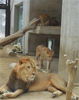 【FIGHT9日和】桐生が岡動物園 意外と子に甘い「百獣の王」