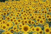 斜面を黄に染める200万本 福島・三ノ倉高原のひまわり畑