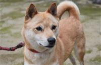 「山陰柴犬」復活、絶滅危機からの奇跡