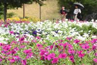 季節の移ろい感じて 馬見丘陵公園のペチュニア見頃 奈良