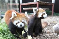 【日本再発見】〝レッサーパンダの聖地〟で注目~静岡市立日本平動物園(静岡市)