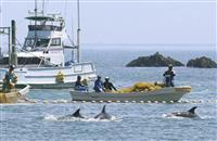 小型クジラ今季初捕獲 和歌山・太地の追い込み漁