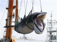 釧路沖でミンククジラ漁 9月末にも漁獲枠到達