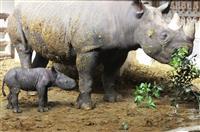 とべ動物園でヒガシクロサイの2頭目赤ちゃん誕生