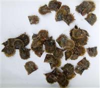 愛媛でアコヤガイ大量死 真珠生産に懸念、原因調査