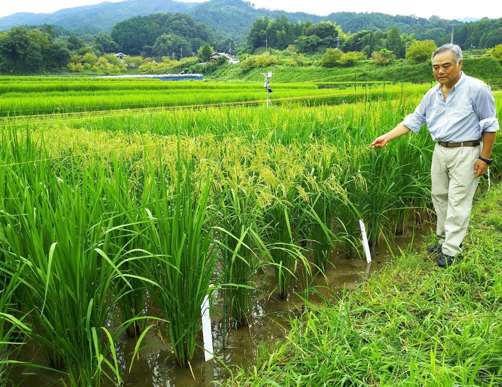 弥生時代の稲作探る 橿考研が明日香村で栽培実験