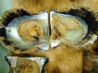 アコヤガイ200万個超死ぬ 三重、県全体の2割以上