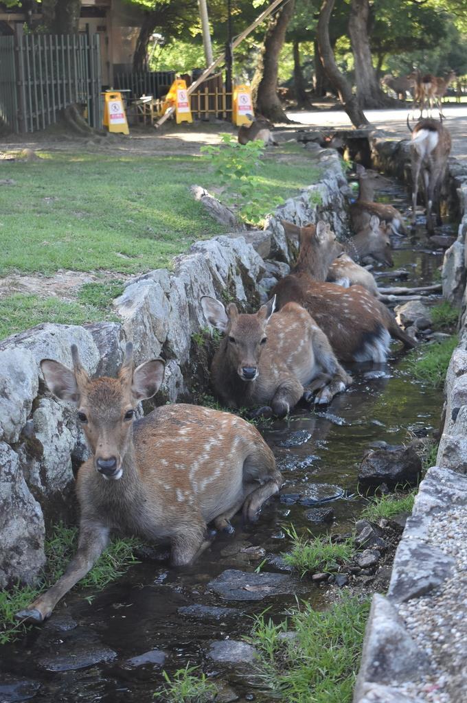 厳しい残暑が続く奈良公園では、小川に入って暑さをしのぐシカの姿も=奈良市