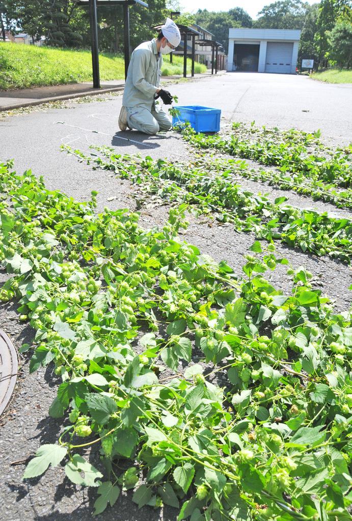 自分たちが栽培したホップを収穫する守谷市職員=10日午前、同市役所(篠崎理撮影)