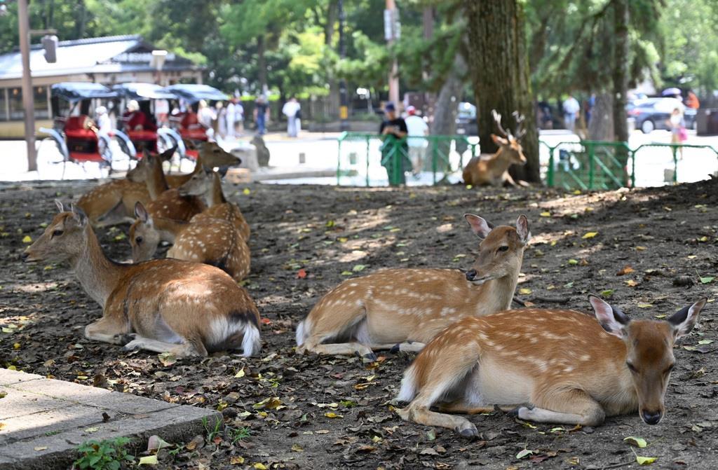 厳しい残暑に木陰でぐったりするシカ=奈良市の奈良公園