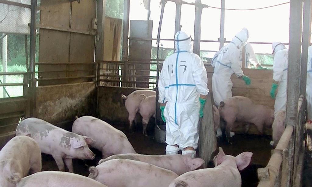 豚コレラに感染した豚が飼育されていた養豚場で進められる殺処分作業=14日午前、埼玉県秩父市(同県提供)