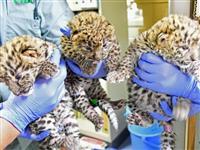 三つ子のヒョウすくすく成長 神戸・王子動物園