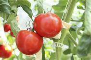 ゲノム食品、表示義務なし 消費者庁「判別不可能」 年内にも流通
