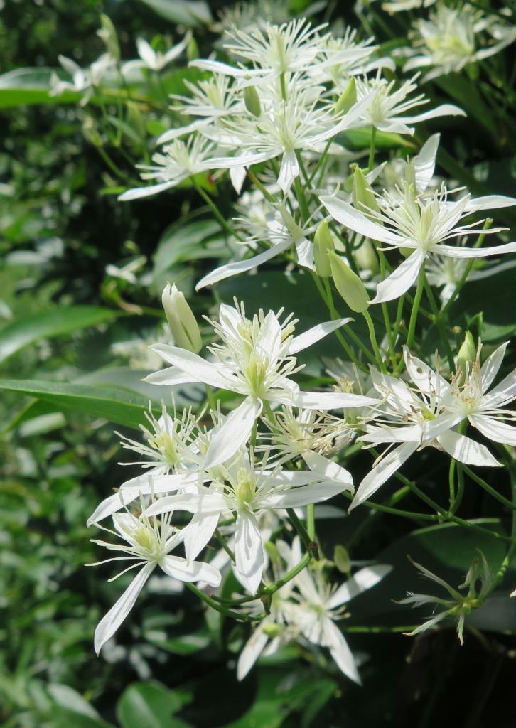 毒はあるが美しい仙人草の花