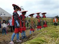 小学生、早乙女姿で稲刈り 厳島神社でお米作りの苦労学ぶ 兵庫