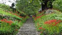 彼岸花の名所が7年ぶり復活 奈良・宇陀の佛隆寺