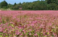 営農再開へ 希望の花が満開 福島・大熊町 試験栽培の赤花ソバ
