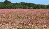 営農再開へ希望の花満開 大熊で試験栽培の赤花ソバ