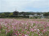 文化財とコスモス競演 奈良・斑鳩