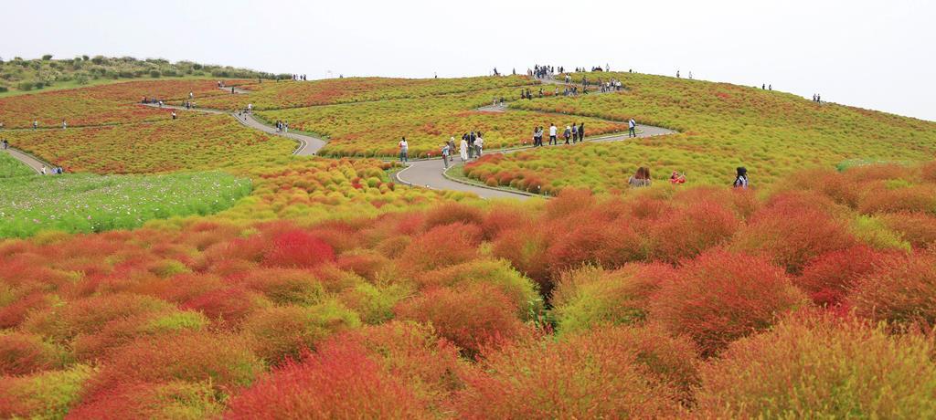 赤く色づき始めた「みはらしの丘」のコキア=8日午後、茨城県ひたちなか市の国営ひたち海浜公園(永井大輔撮影)