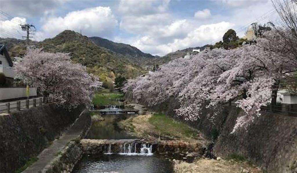 春には、坂のふもとにある開森橋から芦屋川沿いの桜を楽しめる