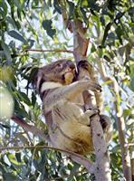 天王寺動物園のコアラ「アーク」最終日 繁殖のため英国へ