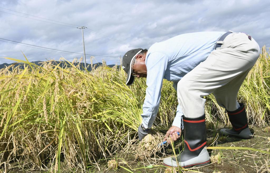 福島県大熊町大川原地区の実証栽培田で、避難指示解除後初めて行われた稲刈り=10日午前