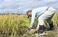 避難解除後で初の稲刈り 福島・大熊町の実証栽培