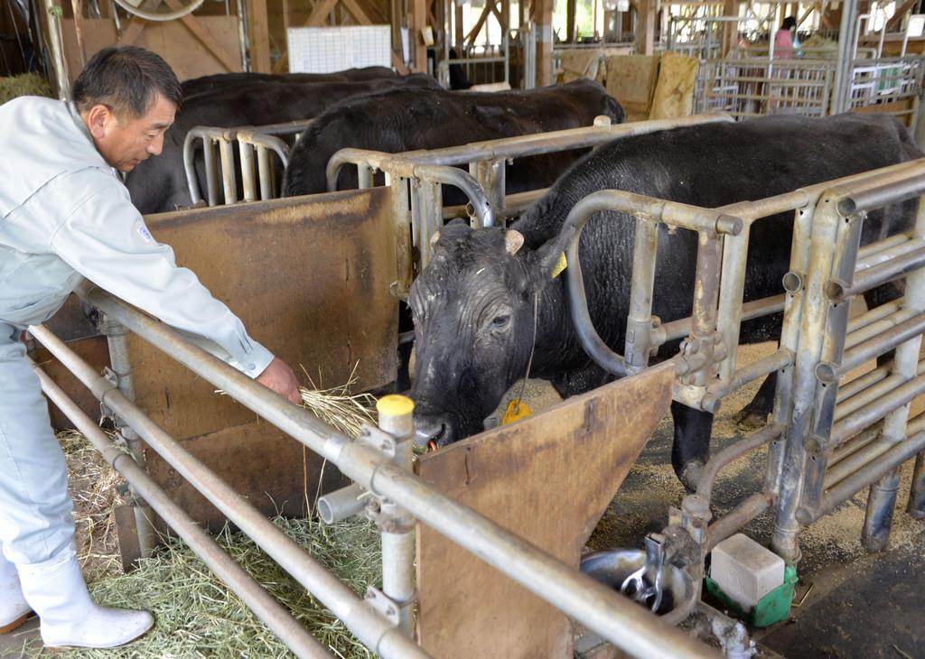 石川県農林総合研究センター畜産試験場で、飼育されるクローン牛の「かが」(中央)=2018年6月、石川県宝達志水町