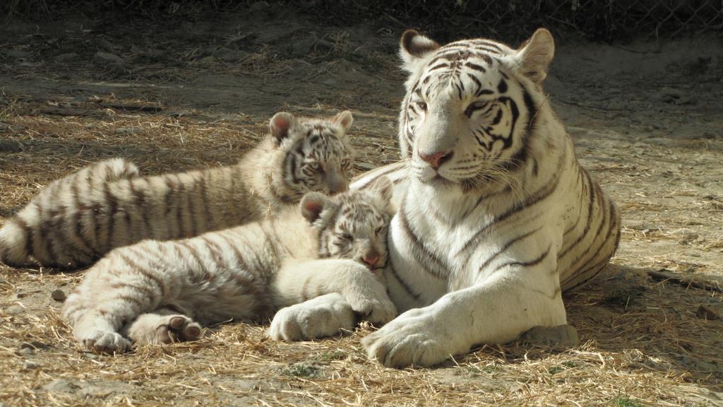 群馬サファリパークのシンボルの一つ、ホワイトタイガーの親子