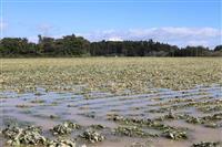 【台風19号】「畑が海のように…」、氾濫の七北田川流域の畑、甚大な被害