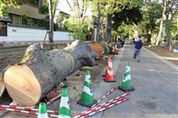 【台風19号】武蔵一宮氷川神社参道のケヤキ倒木 さいたま