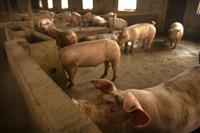 【ビジネス解読】アフリカ豚コレラで中国、米国からの豚肉輸入急増