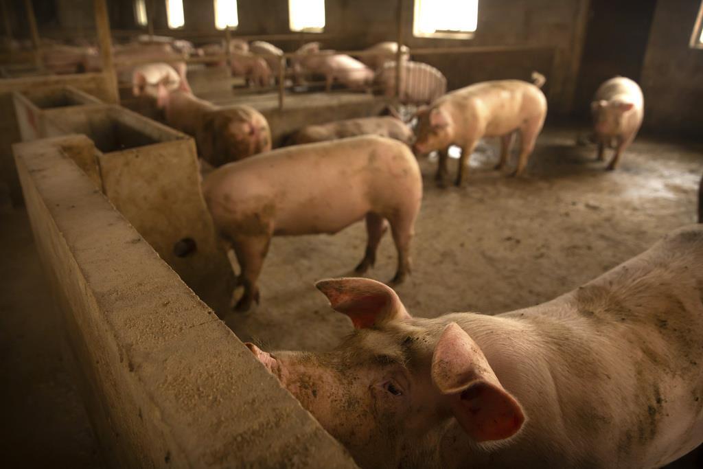 中国河北省の養豚場(AP)
