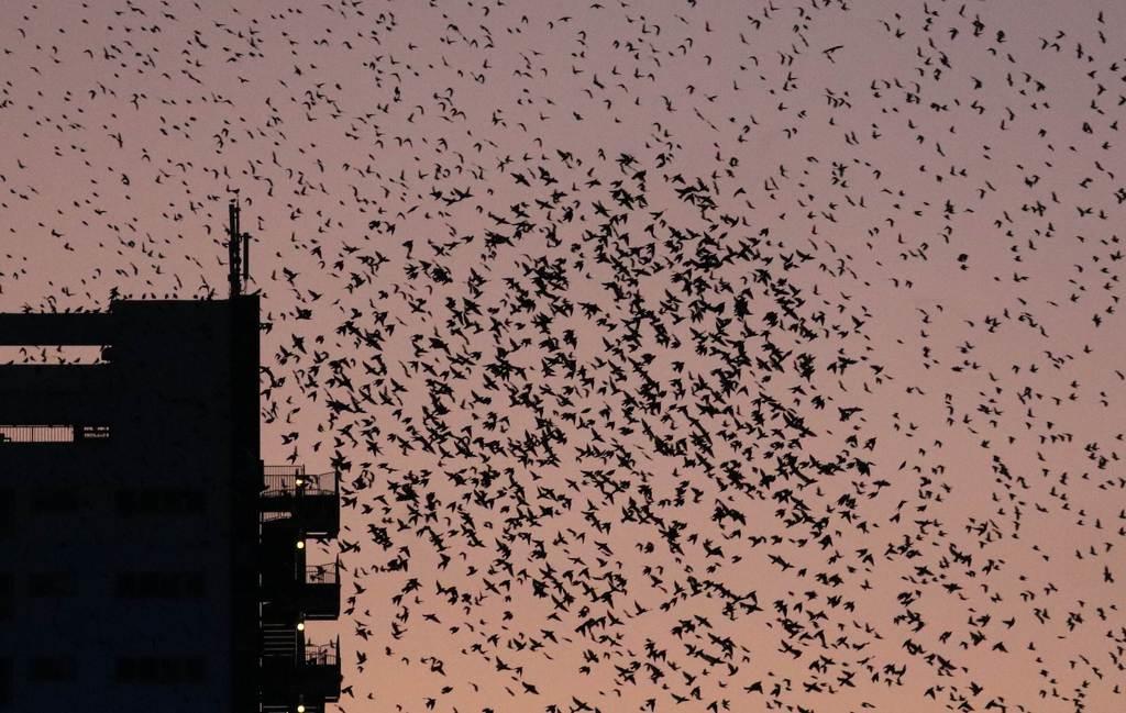 夕暮れ時、集団で飛ぶムクドリ=福島市(芹沢伸生撮影)