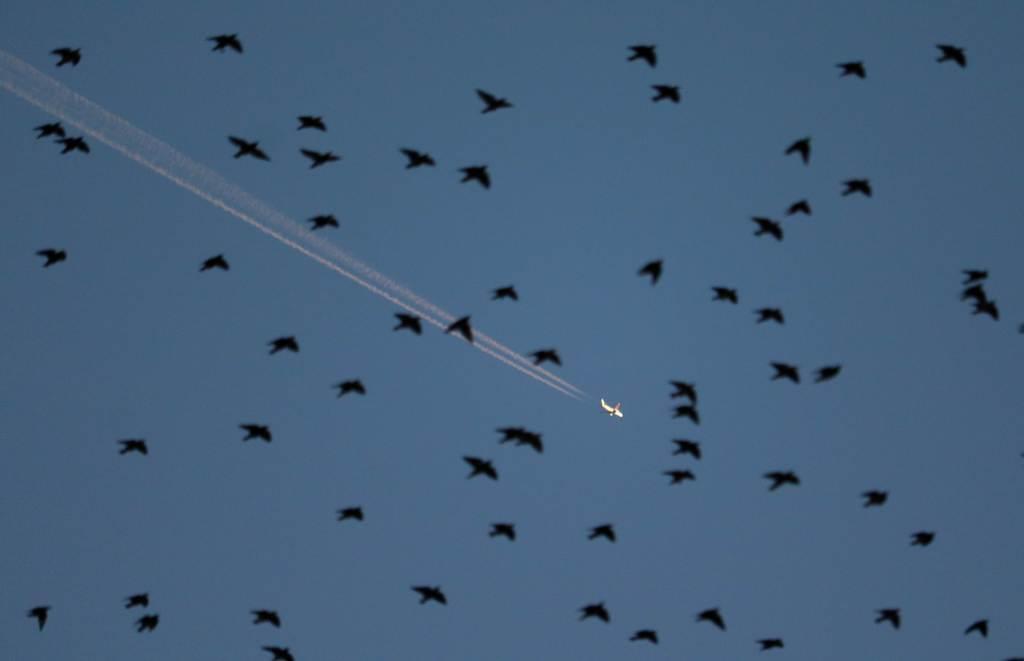 夕暮れ時、集団で飛ぶムクドリと飛行機雲を引く旅客機=福島市(芹沢伸生撮影)