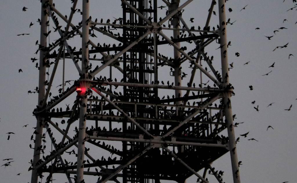 夕暮れ時、鉄塔にとまる無数のムクドリ=福島市(芹沢伸生撮影)