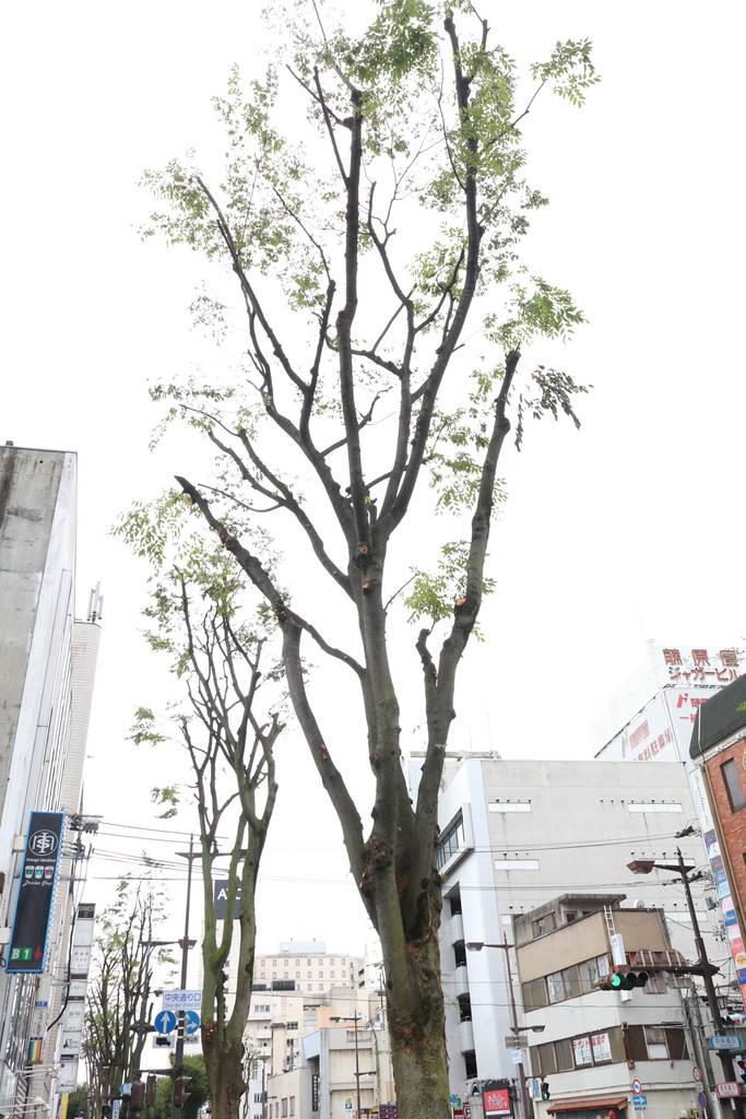 ムクドリ対策で剪定された街路樹=福島市(芹沢伸生撮影)