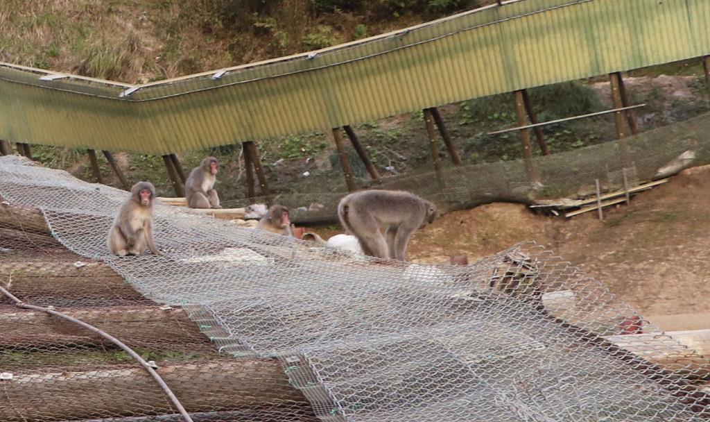 千葉県富津市の高宕山自然動物園で放し飼い状態となっているサル=7日
