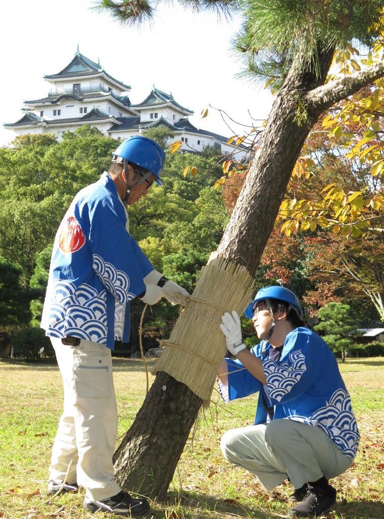 和歌山城公園で行われた「こも巻き」=和歌山市