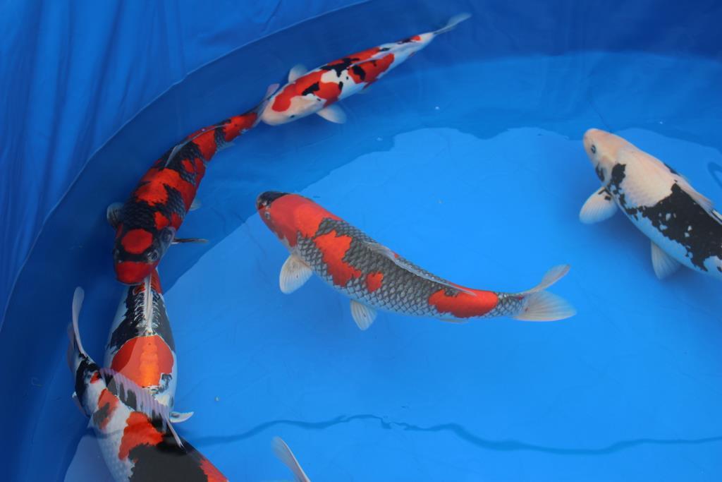 出品された色とりどりの錦鯉たち=10月26日、新潟県小千谷市(池田証志撮影)