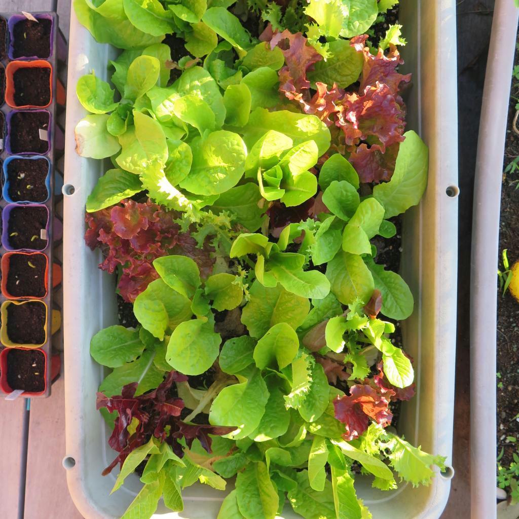 プランターで育つサラダ菜