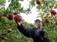 【台風19号】「地元のリンゴ未来につなぐ」 感謝と決意胸に水害と向き合う 千曲川氾濫の…