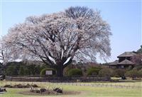 台風で倒れた偕楽園のシンボル「左近の桜」新たに植樹へ 京都御所の木と同系統、宮内庁が苗…