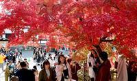 【動画】京都・天龍寺で紅葉が赤く染まる