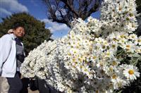 清楚な白、笑顔も揺れる 姫路・大塩でノジギク見頃